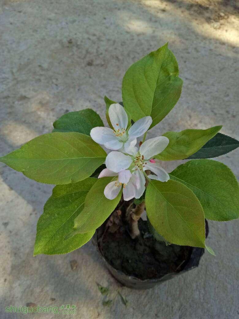 我的葡萄果实成熟了海棠树开花了