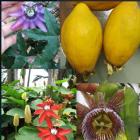 百香果品种系列