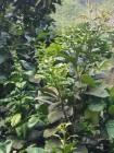 柚子树和澄树都挨害虫,不知道什么虫,番石榴也挨害虫