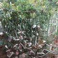 我家的柿子树
