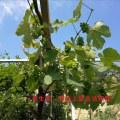 葡萄区域1