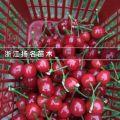 扬名果苗之樱桃