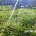 绿肥鼠茅草