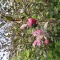 自选猕猴桃实生苗