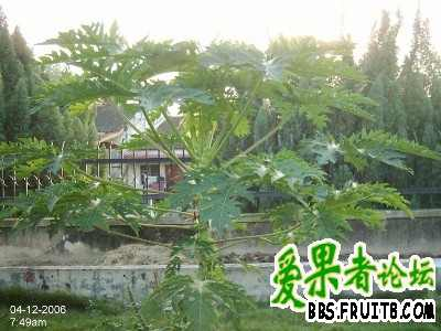 木瓜树3.jpg