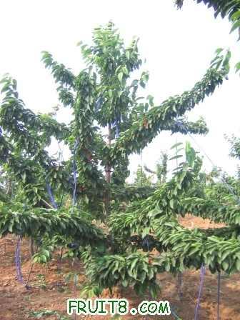 这是栽后第四年树形的生长状况照片,