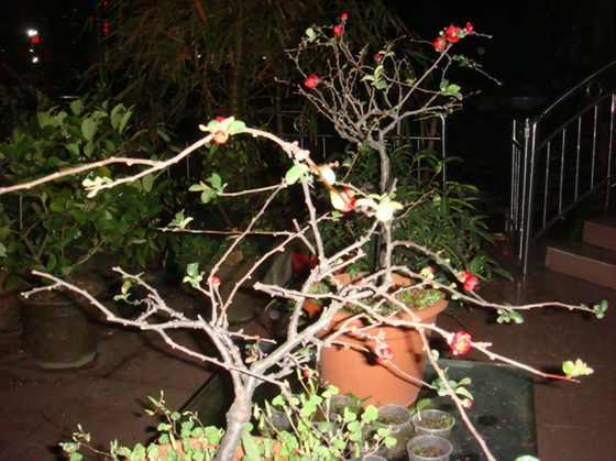 种植了2年的木瓜.jpg