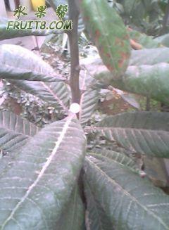 山竹树粗.jpg