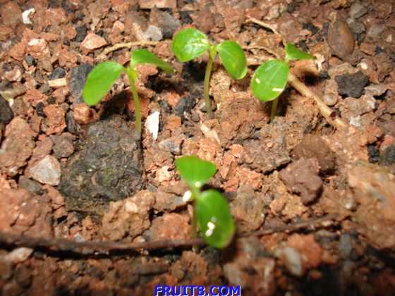 八月14日播种的木瓜苗