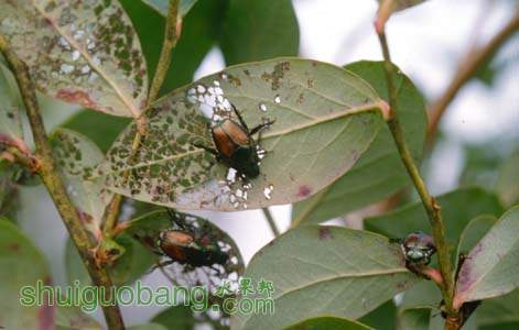 Figure 12. Japanese beetles feed primarily on leaves but may feed on fruit towar.jpg