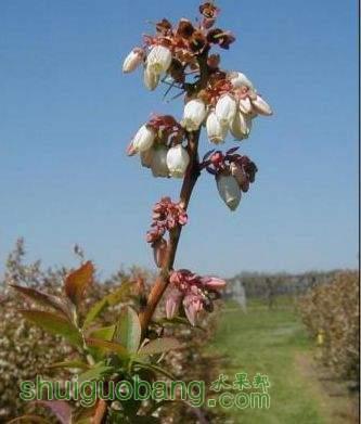 花芽发育次序、花朵开放次序1.JPG