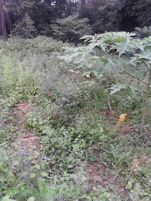 木瓜_20121007_104758.jpg