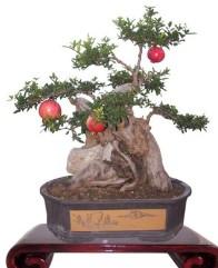 石榴盆景照片.JPG