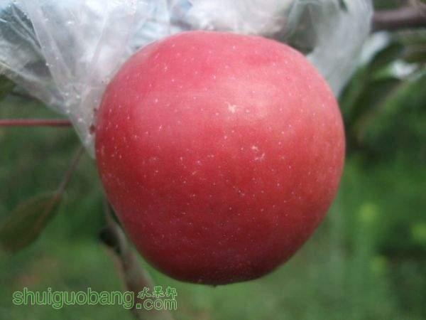 红色之爱,冒雨摘桃,加州早甜 013.jpg