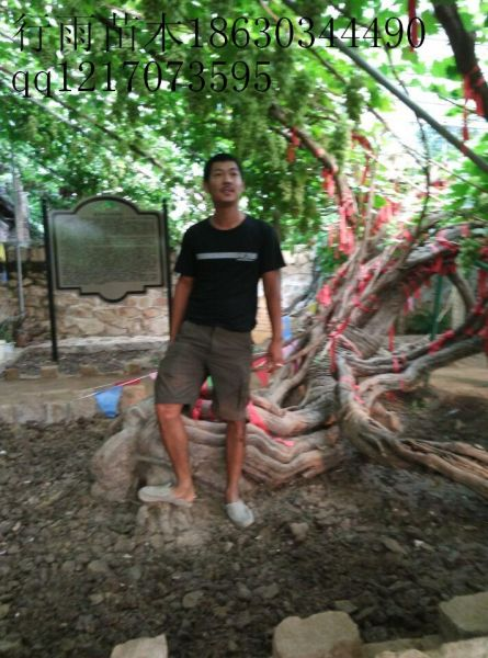 百年老树2.jpg