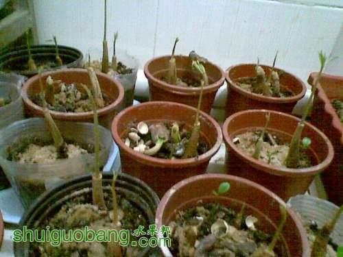 越南猫山王榴莲的播种3.jpg