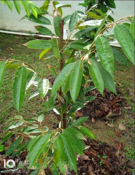 长了7年的榴莲树.jpg