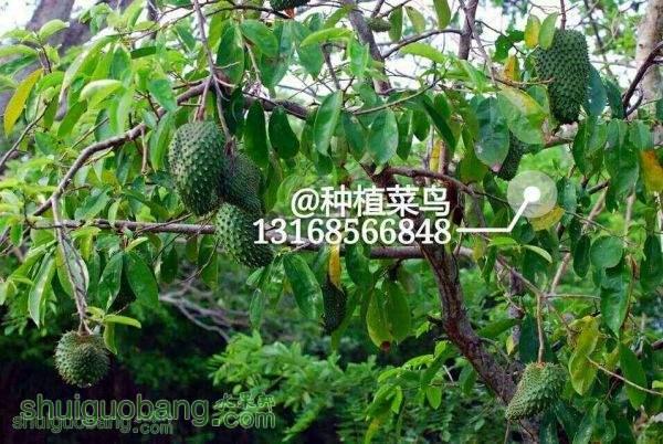 红毛榴莲——刺果番荔枝1.jpg