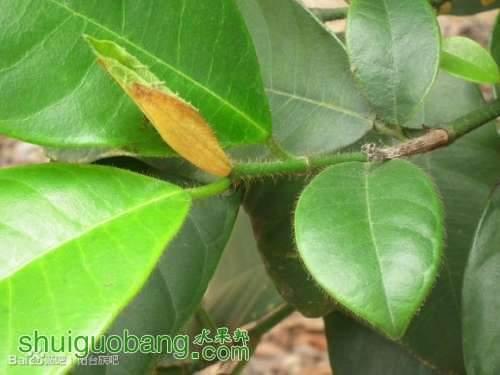 榴莲蜜的嫩梢叶背有绒毛是区别其它菠萝蜜的方法.jpg