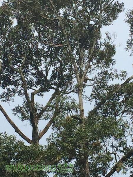 榴莲树2.jpg