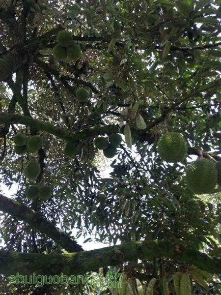 榴莲树4.jpg