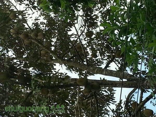 榴莲树10.jpg
