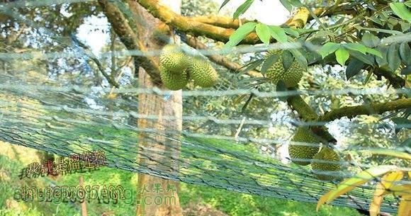 榴莲树14.jpg