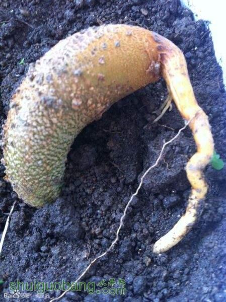 盆栽榴莲籽成长记2.jpg