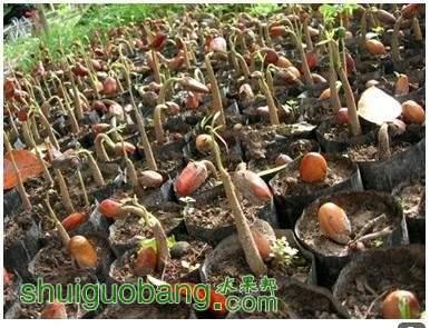 越南猫山王榴莲的播种.jpg