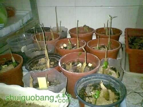 越南猫山王榴莲的播种2.jpg