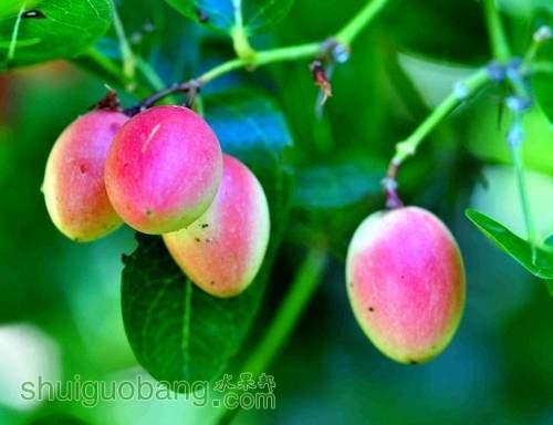 刺黃果果實.jpg