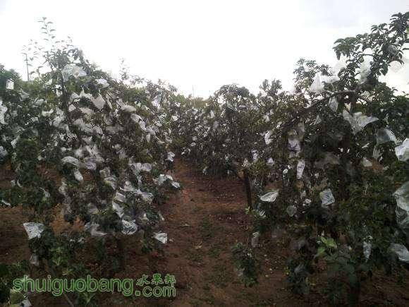 垂柳式苹果树