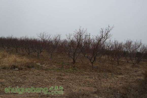 砍桃树 015.jpg