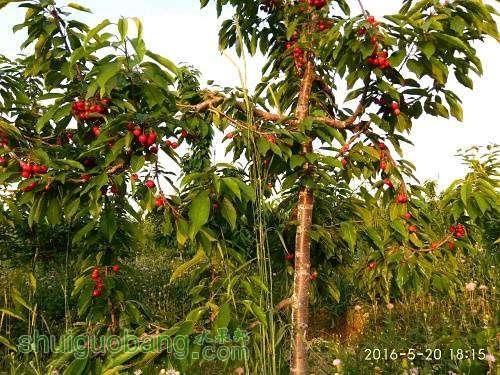主干形樱桃mmexport1484134525215 - 副本.jpg