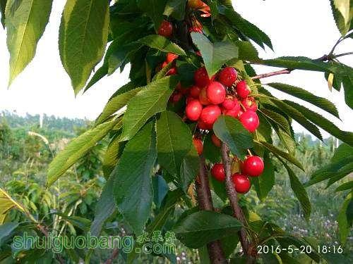 主干形樱桃mmexport1484134520856 - 副本.jpg