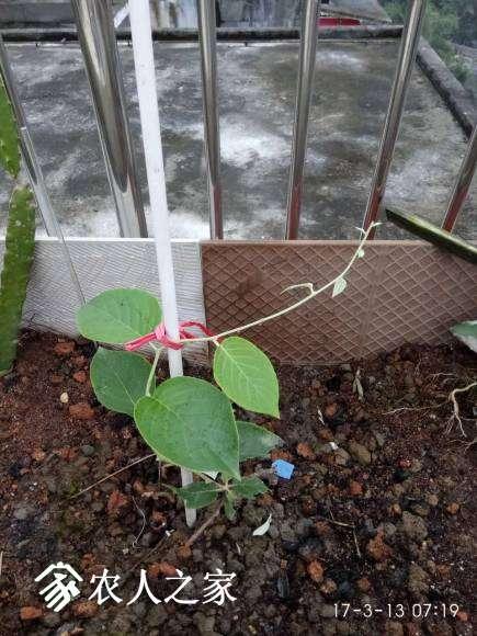 华特(母)藤又长了一大截,目测比一周前长长了五六厘米