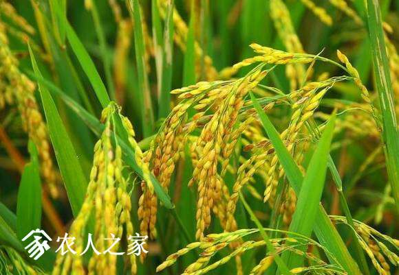 水稻科学合理灌溉技术.jpg