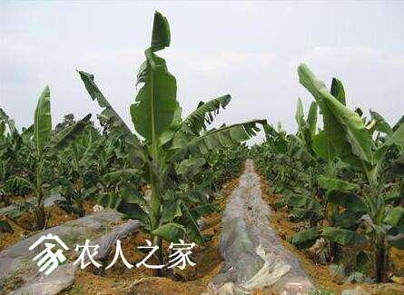 香蕉的垄沟栽培技术.jpg