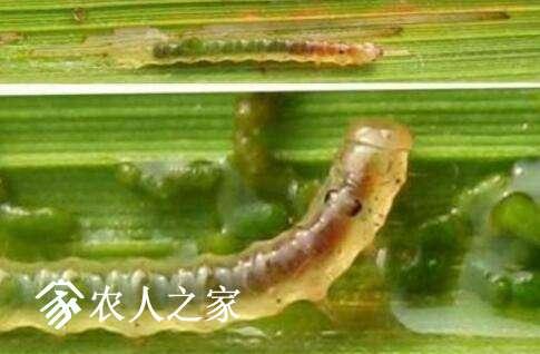 稻纵卷叶螟幼虫龄期识别要点.jpg