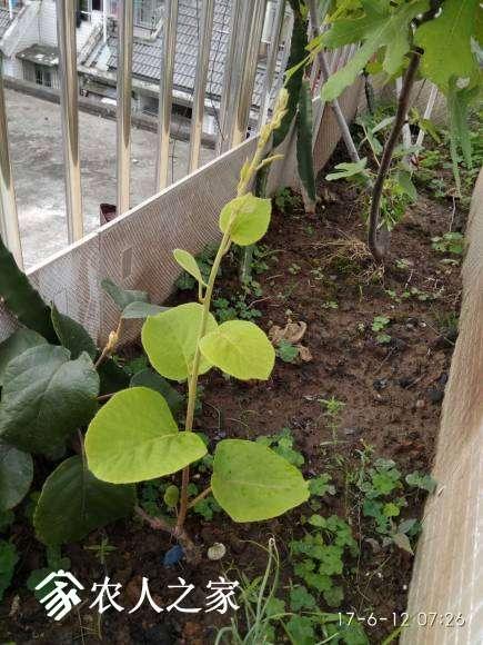 翠玉(母)僵苗了几个月,终于重新焕发生机了,新芽看着挺壮的