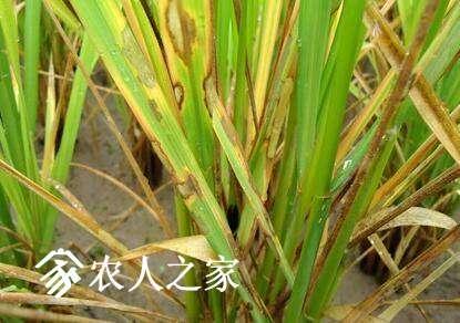 水稻发生了纹枯病怎么办.jpg