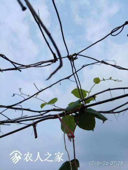 翠玉(公)上架了,分枝了,瘦的很