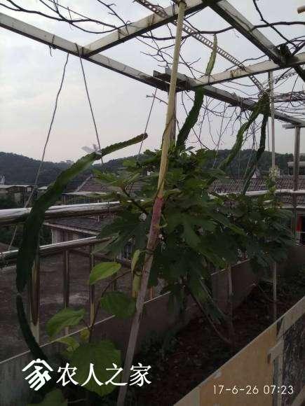 翠玉僵苗好久,好不容易发了新芽,现在看起来也不错了