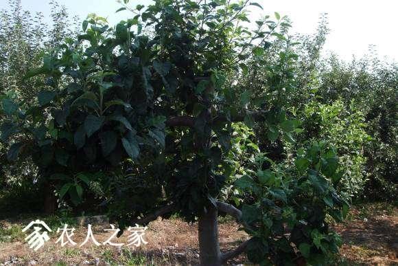17年小树、坐果情况 072.jpg