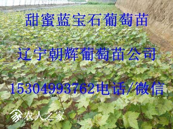 甜蜜蓝宝石葡萄苗.jpg