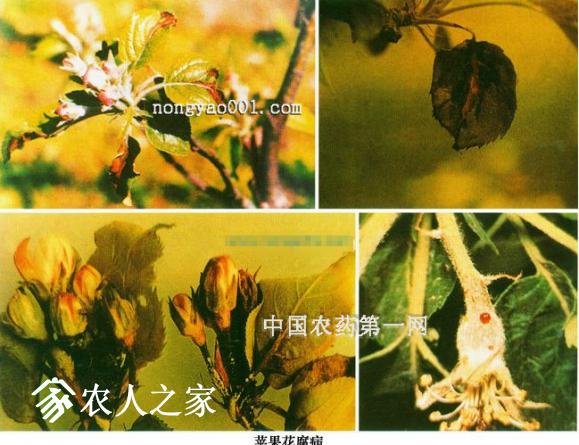 苹果花腐病的防治技巧.png