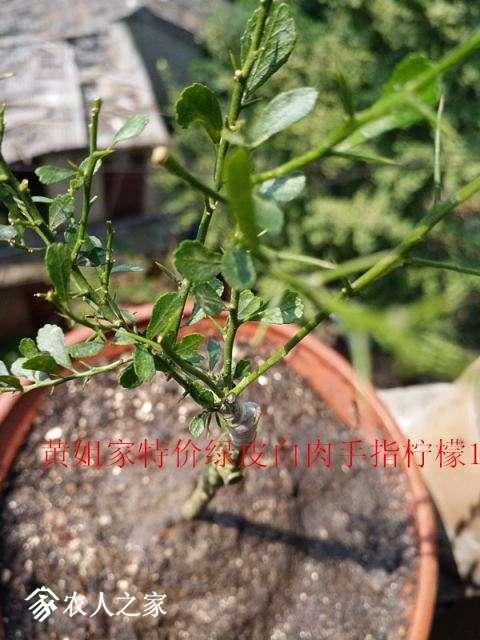 黄姐家特价绿皮白肉手指柠檬123.jpg