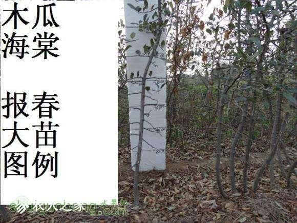 蜀红报春苗图162650u6axzlgxgd0dgdha.jpg