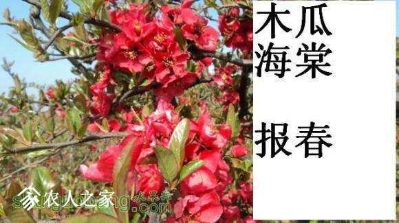蜀红报春开花图162648xn02q252z6zpop5m (2).jpg