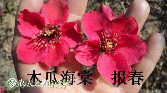 蜀红报春开花图162648xn02q252z6zpop5m (3).jpg